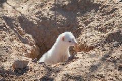 Furetto dell'albino che esce dalla tana fotografia stock libera da diritti