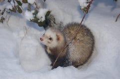 Furetto di Snowy Fotografia Stock