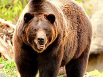 Furious bear. Furious alaskan grizzly bear moments before charging Royalty Free Stock Photo