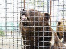 Furious brown bear,Safari Park Taigan, Crimea Royalty Free Stock Images