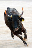 Furious bull. In the arena Royalty Free Stock Photo