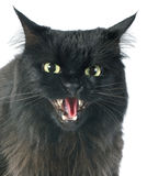 Furious cat Royalty Free Stock Image