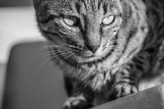 Furious cat ready to attack. Monochrome Royalty Free Stock Photography