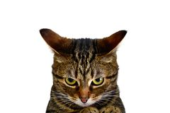 A furious cat. Is ready to attack! Very angry kitten. A cat on a white background, a poster, an inscription, an advertisement. Enjoying, joyful, whiskers royalty free stock photography