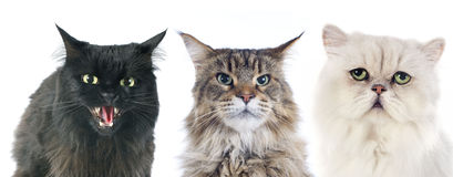 Furious cats. Three angry cats  in front of white background Royalty Free Stock Photos