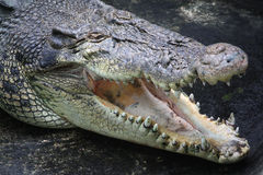 Furious crocodile Royalty Free Stock Image