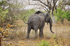 Furious elephant. FURIOUS  elephant at Parc National de W, nIGER Royalty Free Stock Photos