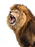 Furious lion. Roaring lion isolated on white background Stock Photo