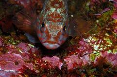 Furious looking fish (Serranus cabrilla). Front view of a comber fish (Serranus cabrilla Stock Image