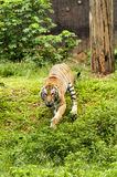 Furious Malayan Tiger. Chasing to camera stock images
