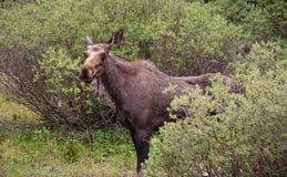 Furious Moose Royalty Free Stock Image