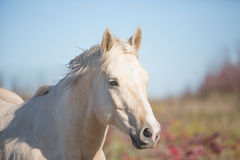 Furious Palomino horse closeup. Closeup portrait of a furious Palomino in front of autumn scene background Royalty Free Stock Photos