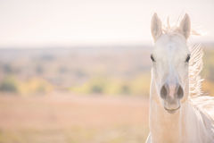 Furious Palomino horse Stock Photos