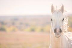 Furious Palomino horse Stock Photos