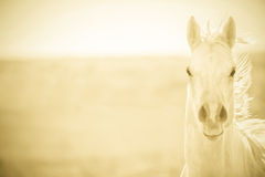 Furious Palomino horse Stock Image