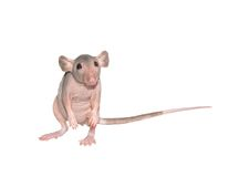 Furless rat. Standing on her back legs, studying its environment, isolated stock images