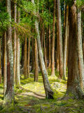 Furnas forest on Sao Miguel in the Azores. Beautiful forest by Furnas on Sao Miguel island in the Azores Stock Photography