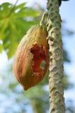 Furo da papaia Fotos de Stock