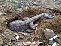 Furo de escavação oriental do lagarto de dragão da água da captação rara para colocar ovos fotos de stock