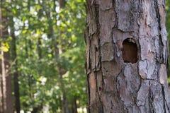 Furo do pica-pau em uma árvore Fotografia de Stock