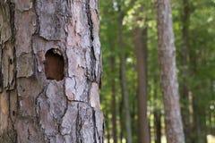 Furo do pica-pau em uma árvore Imagens de Stock