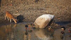 Furo molhando de India Fotografia de Stock