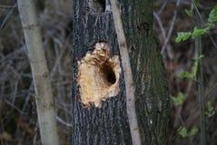 Furo na árvore Imagens de Stock