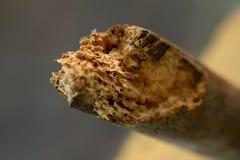 Furos da larva de carcoma Imagens de Stock
