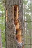Furos do pica-pau em um pinheiro Foto de Stock Royalty Free