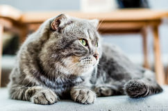 Furring cat looking away. A furring cat sit and looking for customer in cat cafe Stock Images
