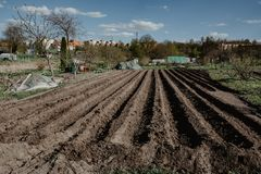 Furrow rows in organic field prepared for planting potatoes manu. Ally. Organic farming Royalty Free Stock Photo