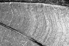 Furrows μιας bream κλίμακας Στοκ Φωτογραφίες