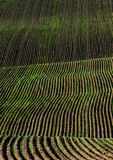 Furrows of Green Healthy Crops  in Field Royalty Free Stock Image
