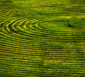 Furrows of Green Healthy Crops  in Field Stock Photo