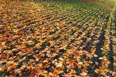 Furrows row pattern with orange maple leaf and green grass on dark autumn plowed field. Autumn meandering plowed field,  covered w. Furrows row pattern with Stock Images