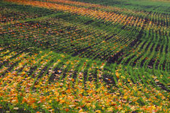 Furrows row pattern with orange maple leaf and green grass on dark autumn plowed field. Autumn meandering plowed field, taken with Stock Photography