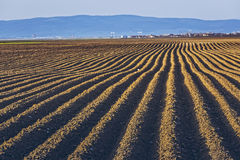 Furrows rows in potatoes field Royalty Free Stock Photography