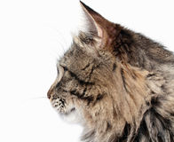 Furry adult cat Royalty Free Stock Image
