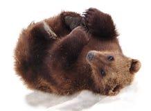 Furry Alaskan. Cute Baby Bear Cub plays in the snow, Kenai Alaska stock image