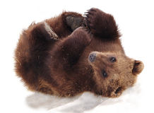 Furry Alaskan Stock Image