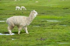 Furry alpaca on green meadow Royalty Free Stock Photo