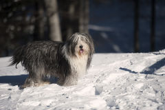 Furry Bearded Collie in the snow Royalty Free Stock Photos