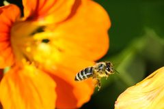 A bee and a yellow flower macro. A furry bee flies to a yellow flower macro shot on a blurred green background Royalty Free Stock Images