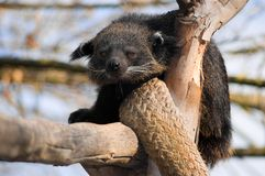 Furry Binturong. This is a Binturong. It an animal that can be found across the following asian countries: India, Indochina, Indonesia, Thailand, Burma, Malaysia Stock Images