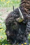 Furry Bison Up Close Royalty Free Stock Images