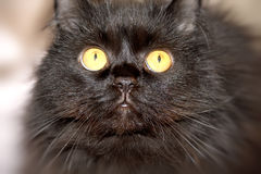 Furry black cat with yellow eyes. Royalty Free Stock Image