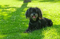 Furry black dog laid on the grass Stock Images