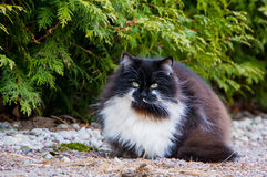 Furry black and white cat Royalty Free Stock Photos