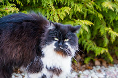 Furry black and white cat Royalty Free Stock Photo