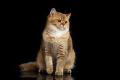 Furry British breed Cat Gold Chinchilla Isolated Black Background. Furry British breed Cat Gold Chinchilla color Sitting and Looking in Camera, Isolated Black Stock Photos
